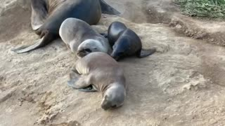 Baby seal lions taking a nap