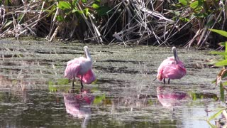 Roseate Spoonbills grooming its feathers