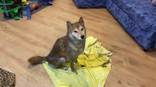 Muddy Shiba Inu knows it's time for a bath