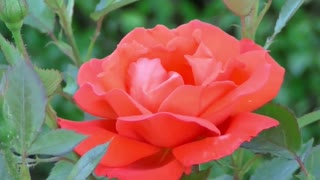 Stunning Red Rose Flower Video