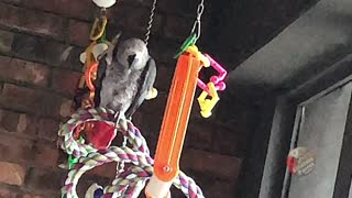 Vocal parrot insists on having chicken for dinner