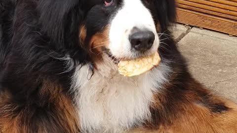 Huge dog eating a pancake