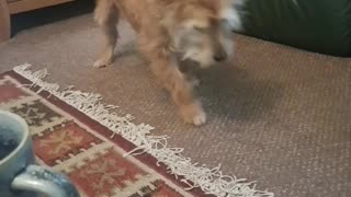 Doris chases her tail whenever owner sings