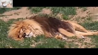 Lion last moment before death