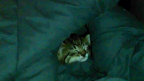 Little Kitten Falls Asleep in Blanket.