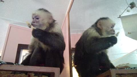 Monkey indulges in sugar-free treat