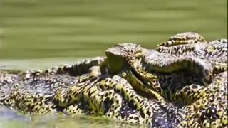 Crocodile Attacks Elephant