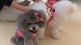 Poodle menacingly stares at camera during photo shoot