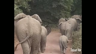 A group of elephants walking on the road to go to the jungle to eat, including a small elephant