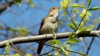 Beautiful singing of a cute bird