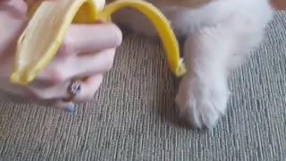 Small brown puppy eating banana