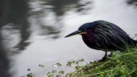 Heron sitting by the edge of a lake - With beautiful music