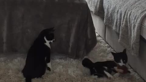 Crazy Kittens Trying to take back her Catnip toy.