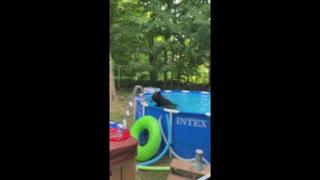 Black Bear Takes a Dip in the Pool