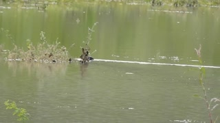Watch the beautiful duck swimming in the lake