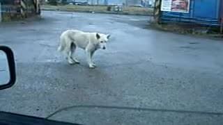 The dog dances alone in the street