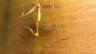 Mosquitos Going Wild