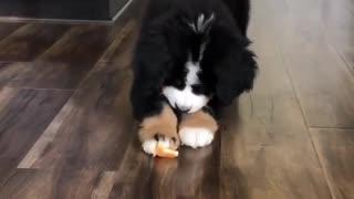 Bernese puppy adorably battles orange slice
