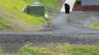 Black Bear Chases Dog