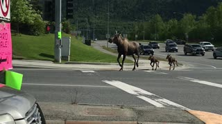 Mama Moose and Young Twins Trot Along Street