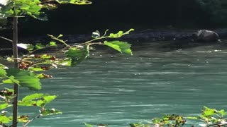 Cubs Playing in River While Mama Bear Catches Fish
