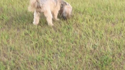 Cute Shorkie on a Walk