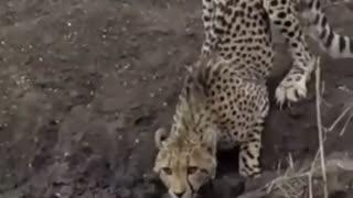 Jaguar vs crocodile fight to the death !!! unbelievable!!