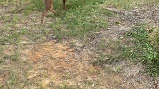 Doggy Picks Pear on Morning Walk