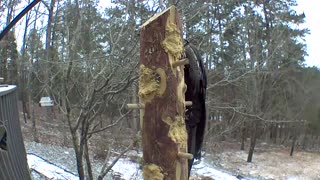 pileated woodpecker loves to swing !