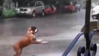 The dog plays in the rain