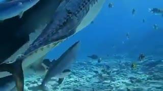 Appex predator under water....