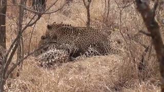 Leopardo Caçando e Matando um Guepardo