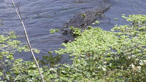 Alligator jumps to catch a fish