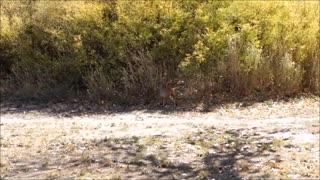 Bobcat Walks By