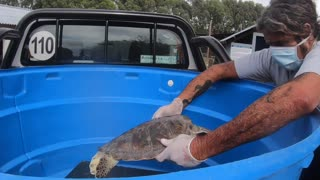 Turtle That Pooed 4ft Of Plastic Released Into Ocean