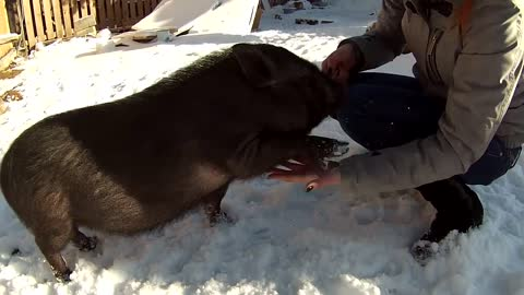 Farm pig learns how to shake hands for treats