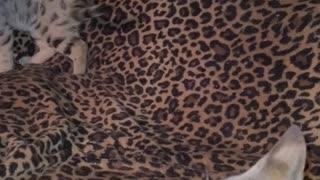 Loud Savannah Growl