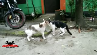 Cats fight and fight ____SILENT_KILLER_pro