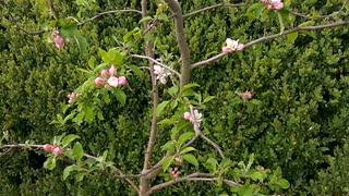 Apple Blossoms-2020