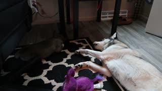Husky upset that puppy is sleeping, throws temper tantrum