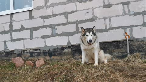 Husky dog video good