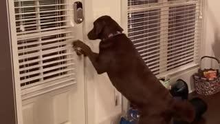Smart dog opens the door