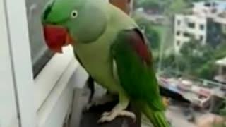 Parrot Calling Mummy in Lockdown 2021