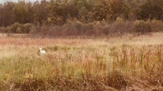 White Deer Autumn Wisconsin
