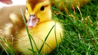 A beautiful little duck