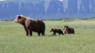 Mother Bear Carefully Watches Over Cubs