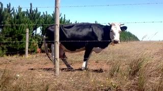 American Black Cow Waits Baby near fence