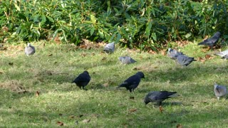Crows Eats With Birds On Grass