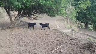 Crazy goat fight