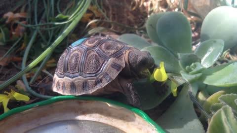 Adorable baby tortoise eats yellow flower